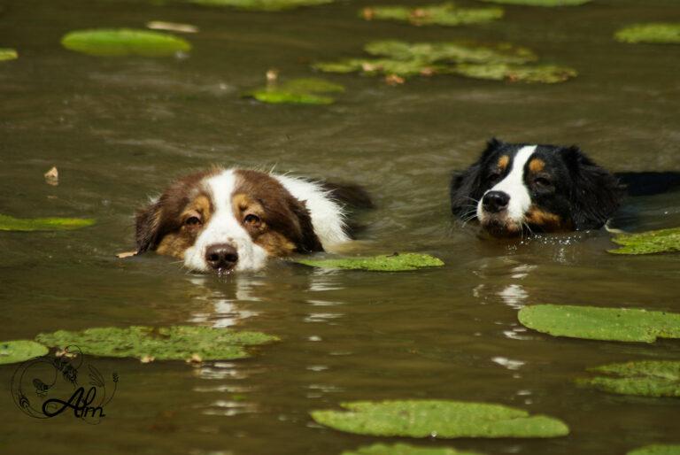 chiens etang