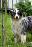 TN200_chiens-Berger-Australien-37394c16-ecd4-8f34-ddd3-115c913cefe3